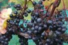 wijngaard-de-kroon